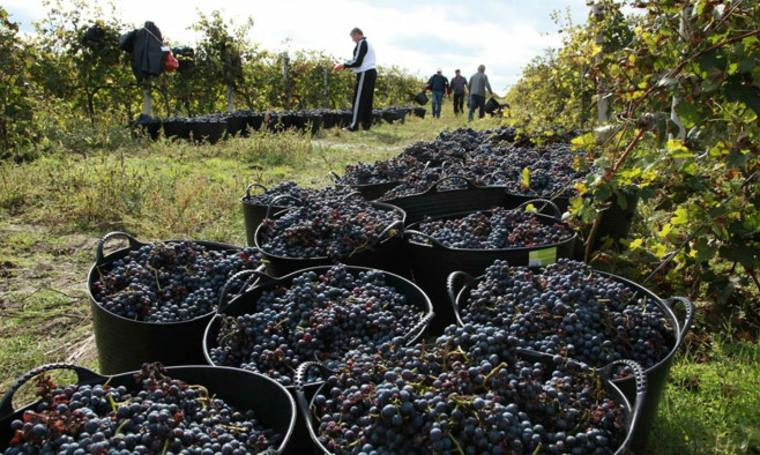 cosecha uva