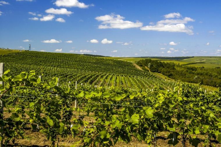 campos viñedos