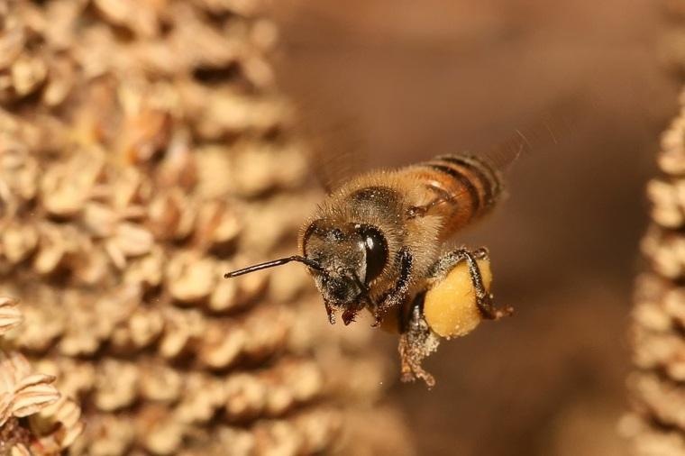abejas meliferas