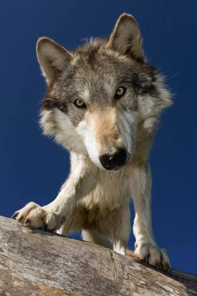 lobo espiritual