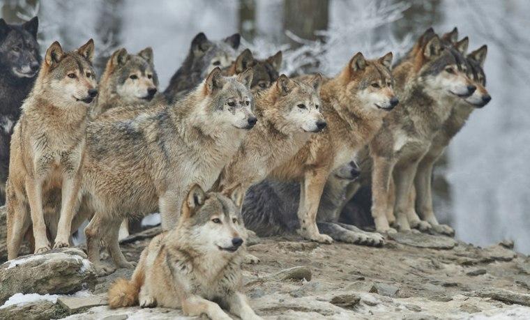 manada de muchos lobos