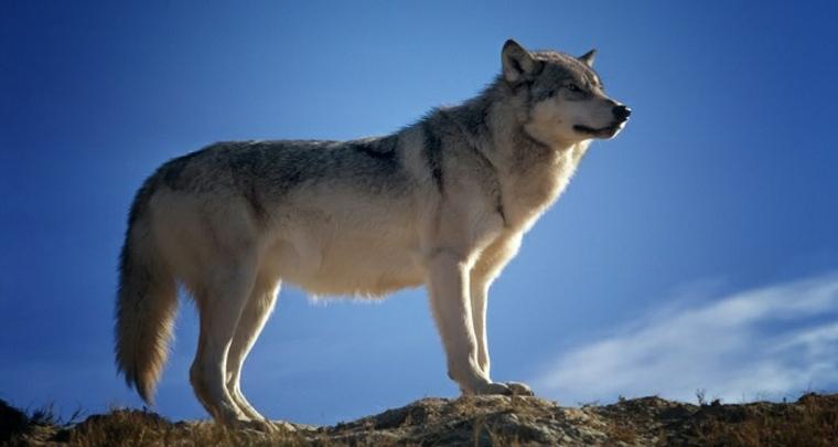 lobo solitario en vigilia