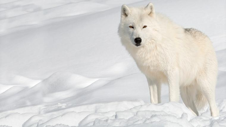 Interpretación del sueño del lobo blanco