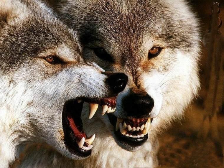 El lobo se representa como una criatura que devora carne humana