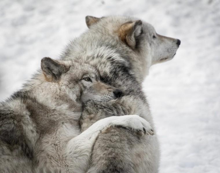lobos jugando