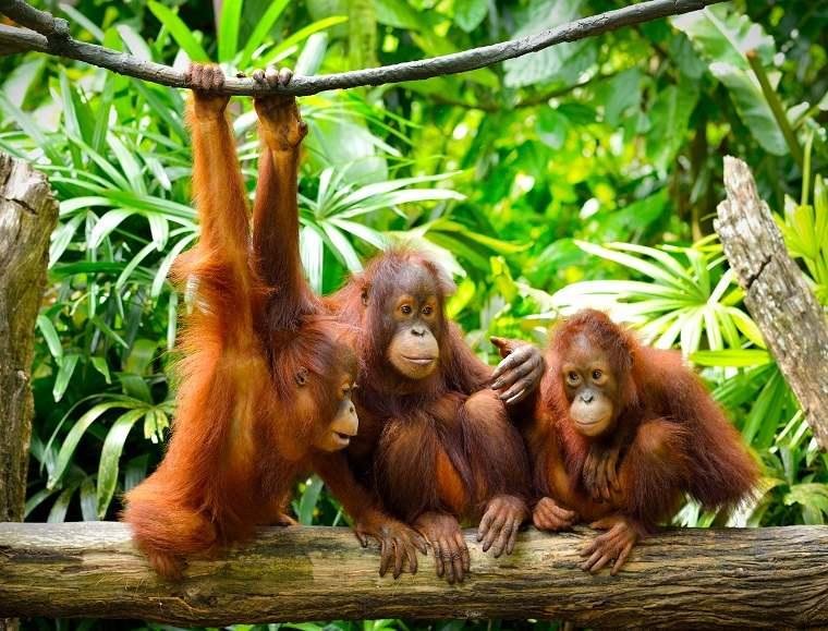 orangutanes-parecidos-humanos-ideas