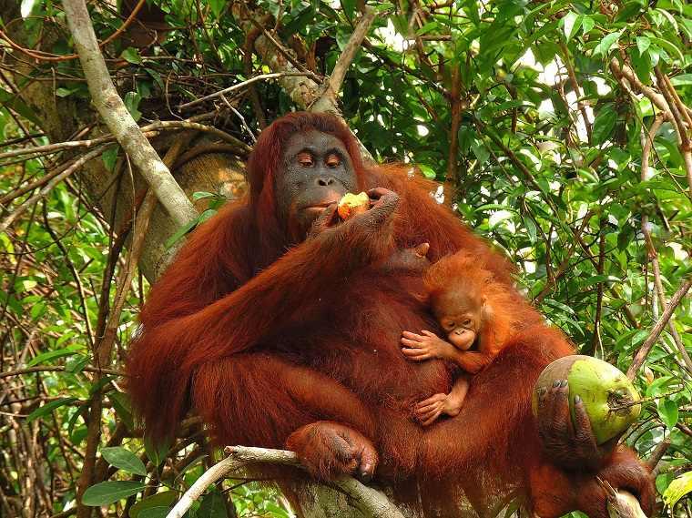 orangutanes-parecidos-humanos