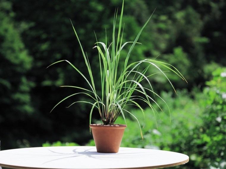 plantas repelentes de mosquitos hierba de limon