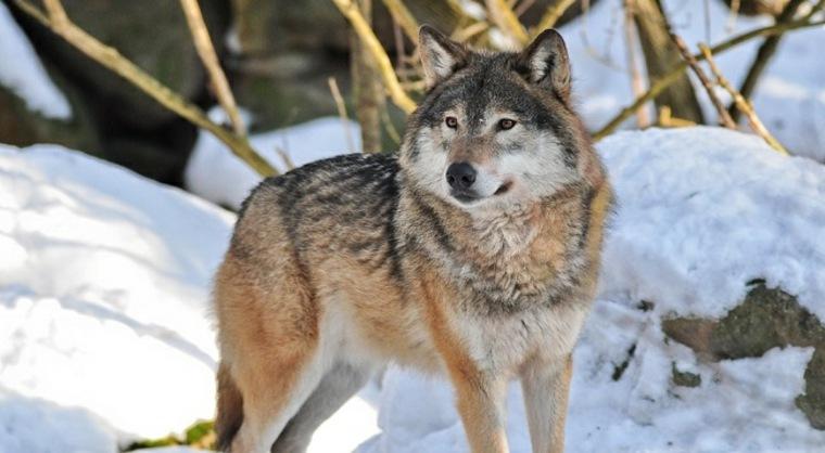 imagen de lobo en la nieve