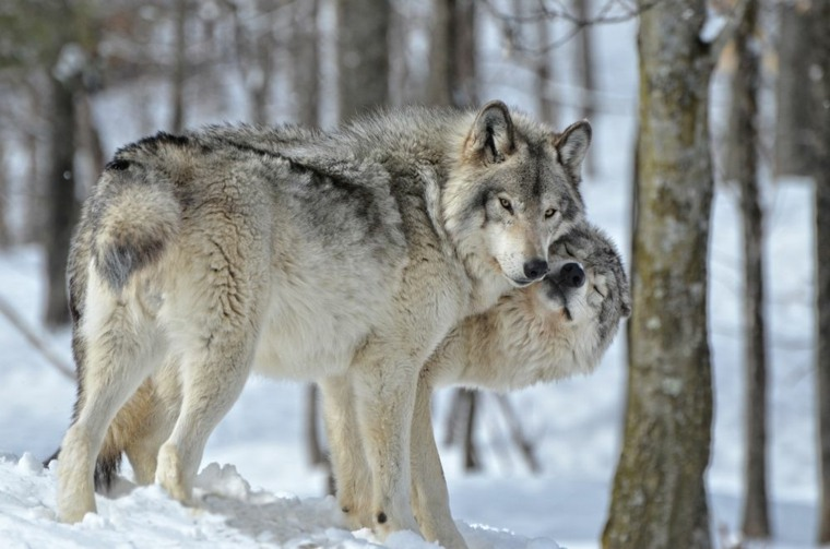 dos lobos cariñosos