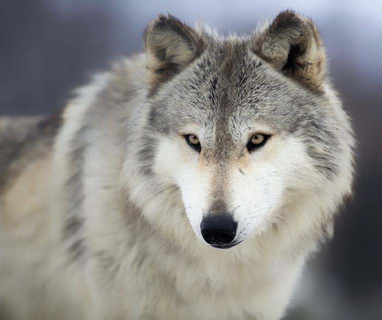 significado espiritual lobo