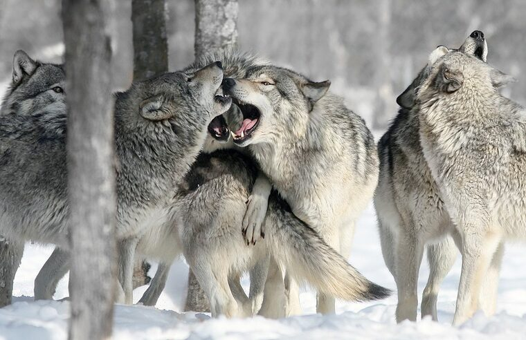 tatuajes de lobos manada