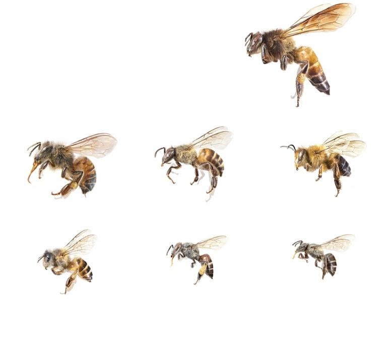 especies de abejas
