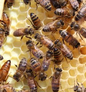 abejas-meliferas-comonias-nidos-ideas