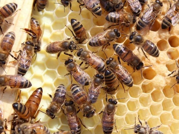 abejas melíferas-comonias-nidos-ideas