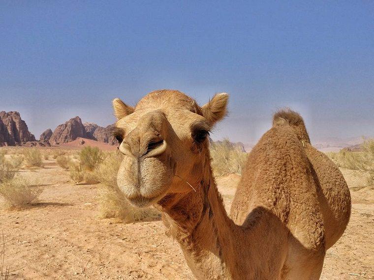 leche de camello-tendencia-salud