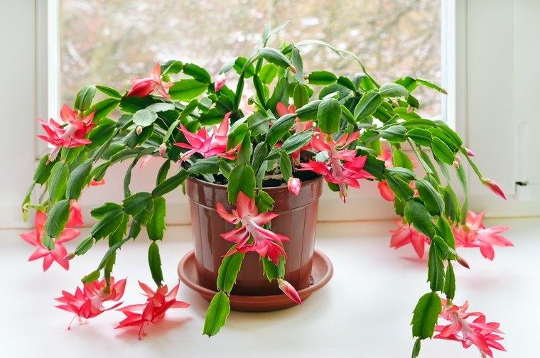 flor de pascua cactus