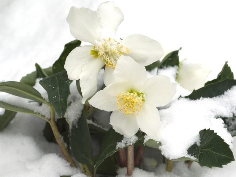 flor de pascua rosaa