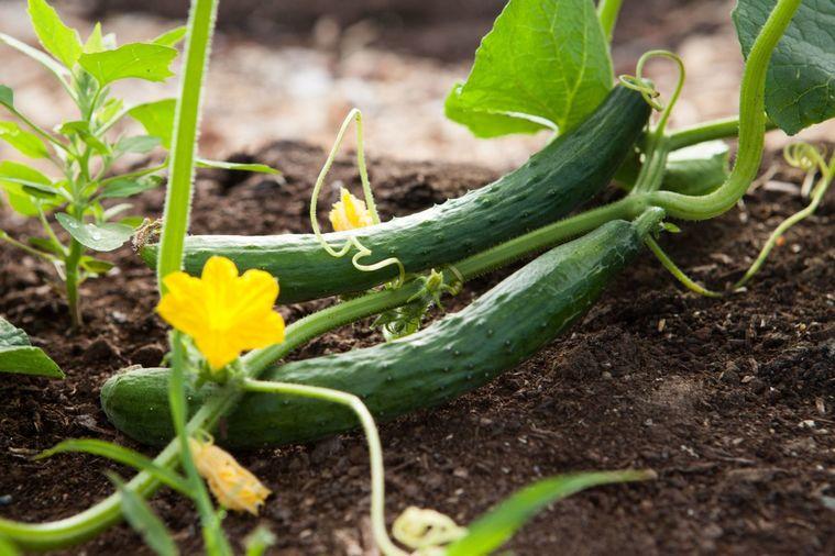 beneficios del pepino planta