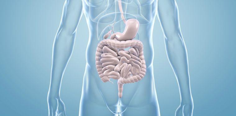sistema inmune intestinos