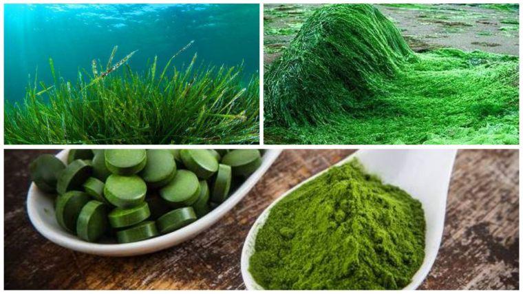 espirulina para adelgazar algas