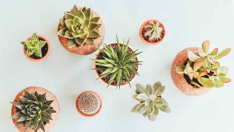 feng-shui-plantas-interior-suculentad