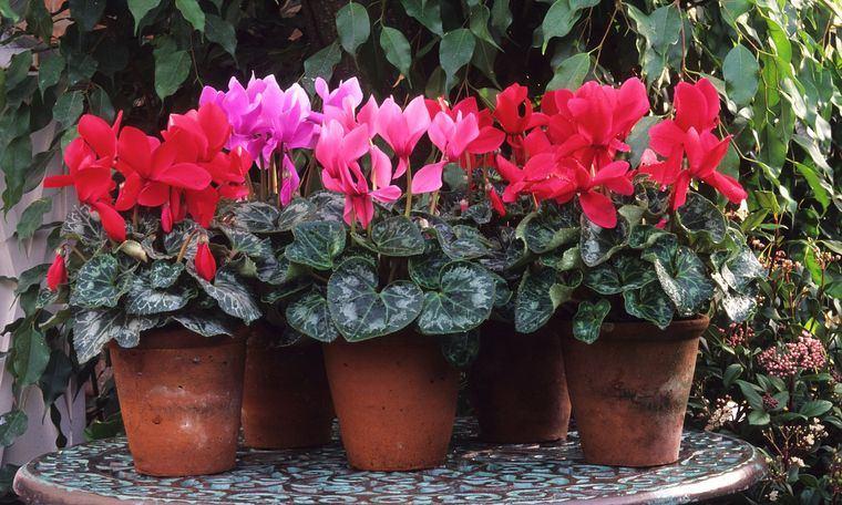 el jardín ciclamen