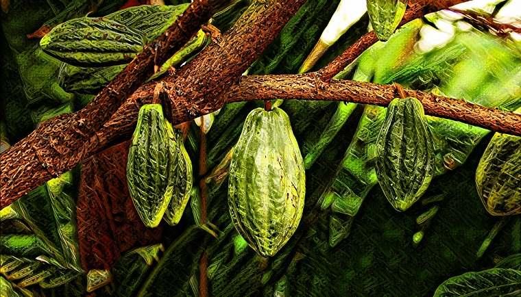 El chocolate esta en peligro la producción de cacao de Ghana fuertemente afectada