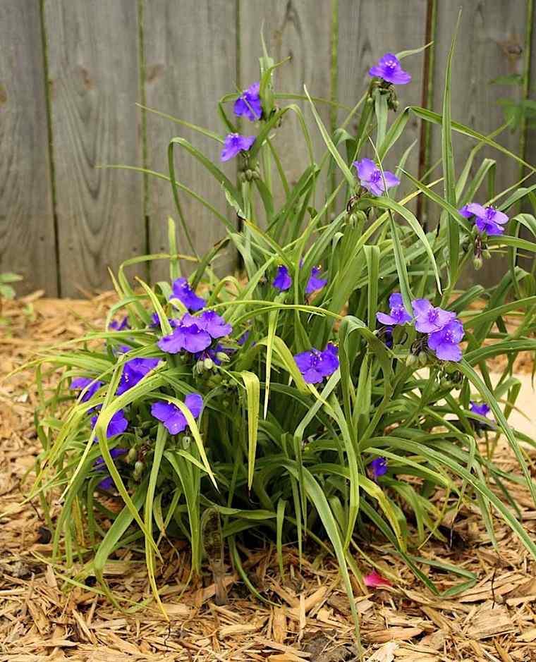 Tradescantia-flor-jardin-opciones