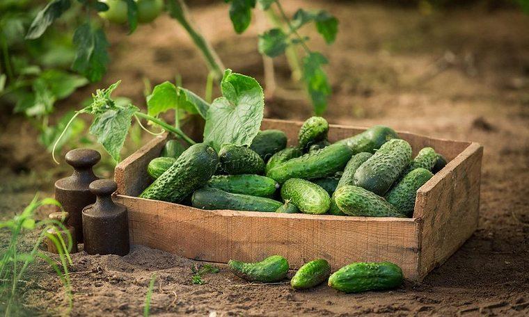 alimentos verdes-mejor-salud-pepinos