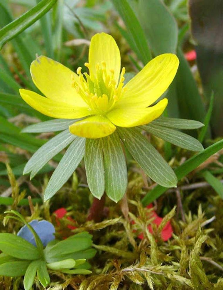 flores de primavera aconito