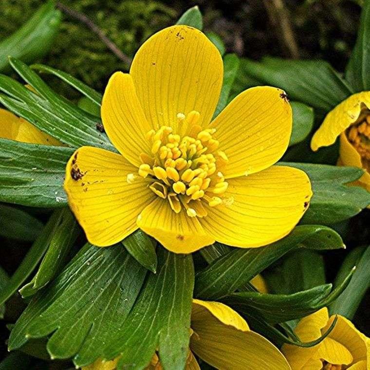 flores de primavera aconitos