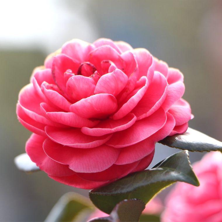 flores de primavera camellia