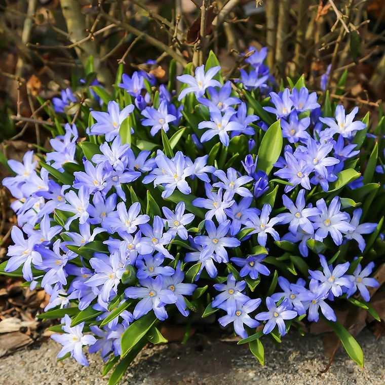 flores de primavera estrella azul