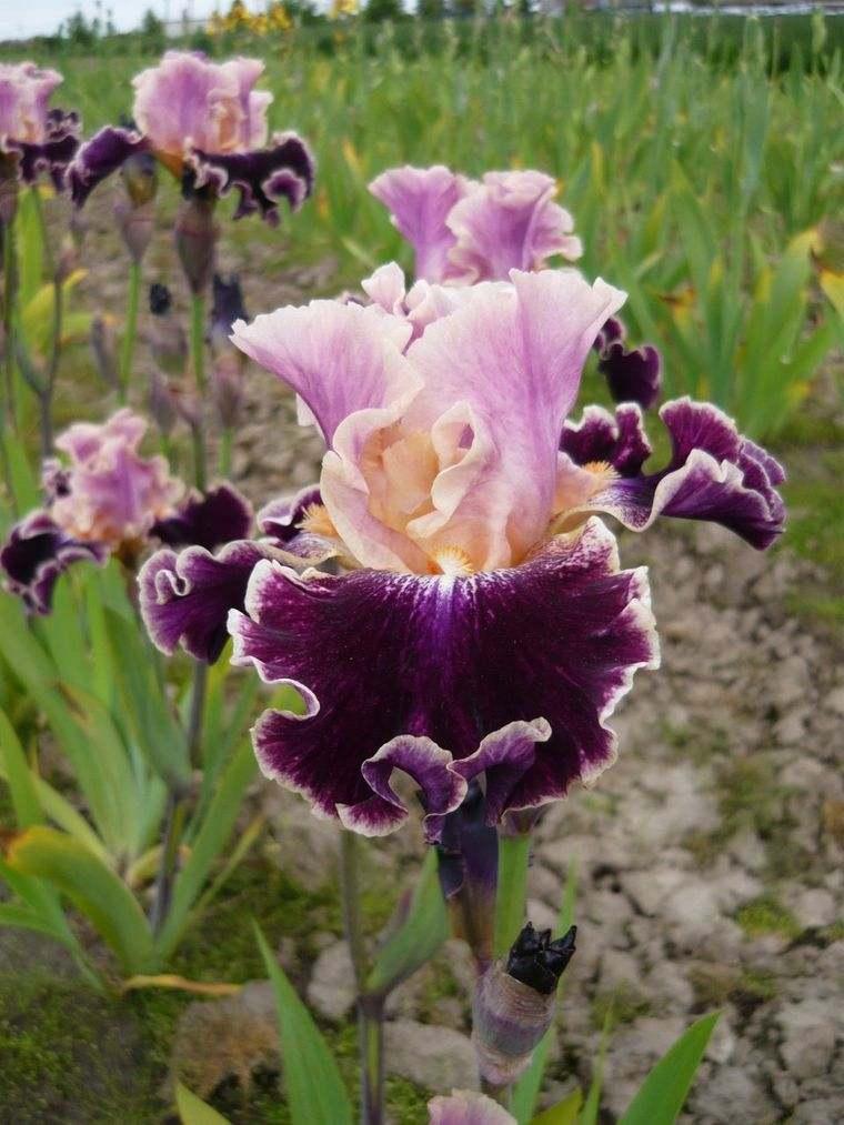 flores de primavera iris acoma