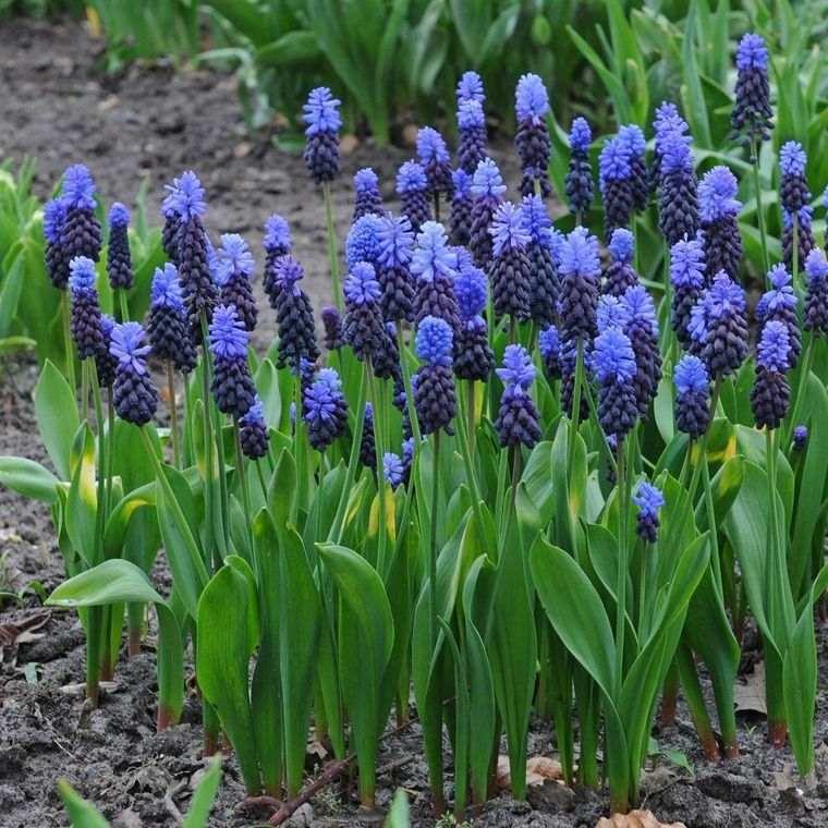 flores de primavera jacintos