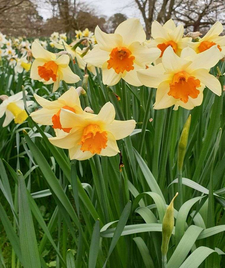 flores de primavera narciso