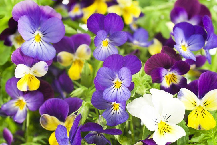 flores de primavera pensamiento