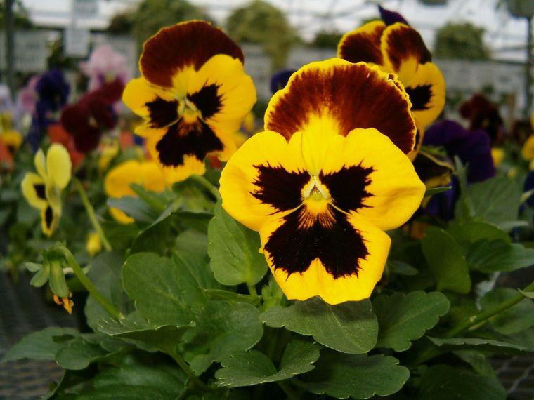 flores de primavera pensamientos
