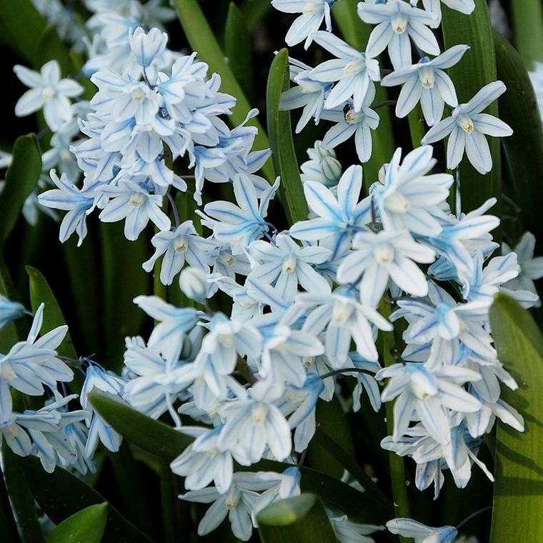 flores de primavera puschkinia