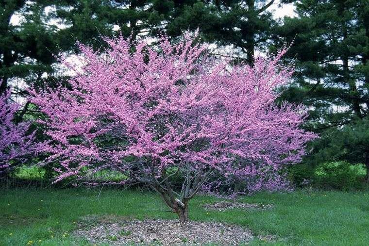flores de primavera redbud