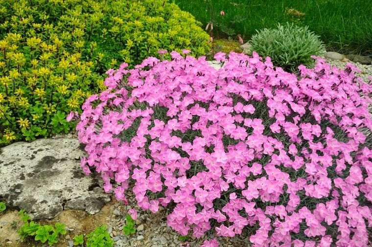 flores de primavera rosa roca
