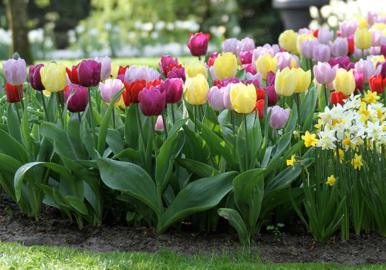 flores de primavera tulipan