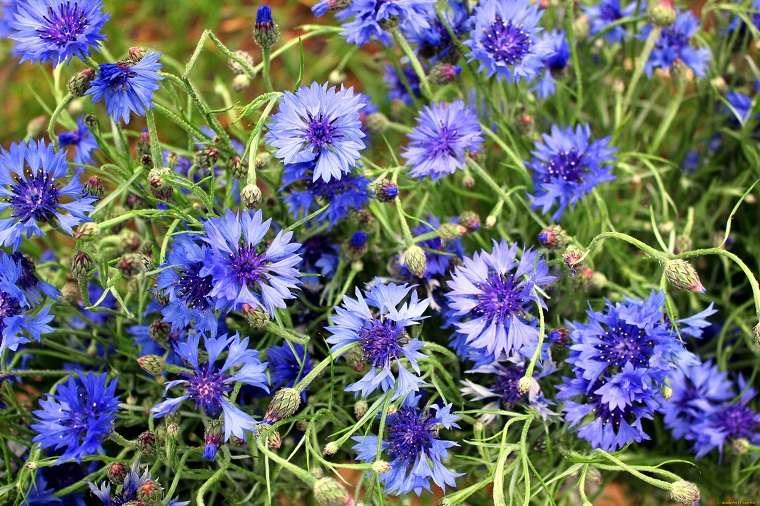 flores-perennes-ideas-plantas-aciano-bello