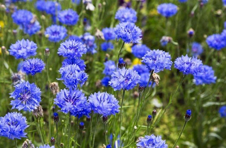 flores-perennes-ideas-plantas-aciano