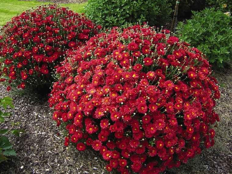 flores-perennes-jardin-ideas-crisantemo-jardin