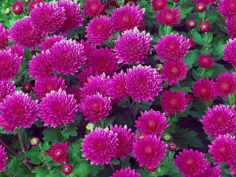 flores-perennes-jardin-ideas-crisantemo