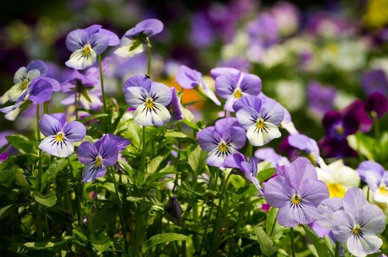 flores-perennes-pensamientos-ideas