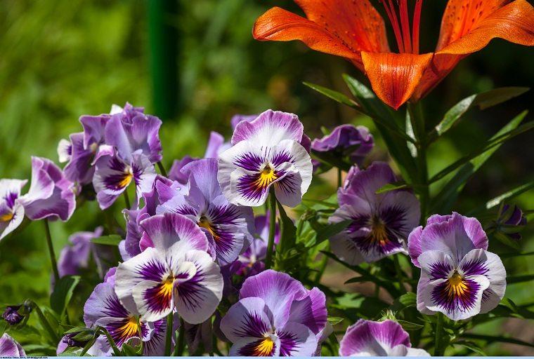flores-perennes-pensamientos-jardin
