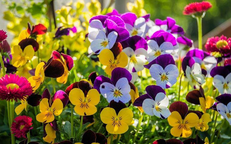 flores-perennes-pensamientos